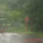 Deer crossing road near stop sign