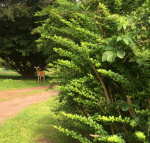 deer on dirt path near trees