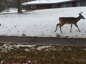 A buck walks on snow near a sidewalk